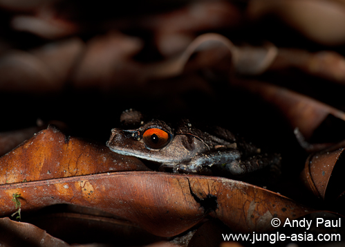 leptobrachium hendricksoni. The Spotted Litter Frog stands out from ...