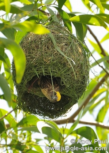 ploceus philippinus. A Baya Weaver busily putting the finishi...