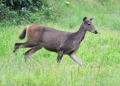 cervus unicolor (female). A female Sambar Deer or Rusa. Males poss...