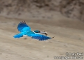 todiramphus chloris. A Collared Kingfisher (todiramphus chlor...