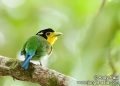 psarisomus dalhousiae. The Long-tailed Broadbill (psarisomus da...