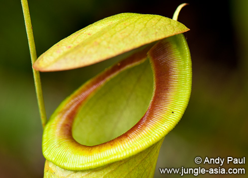 nepenthes mirabilis. A close-up view of the rough surface on ...