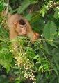 macaca nemestrina (female). A female Pig-Tailed Macaque feeding on j...