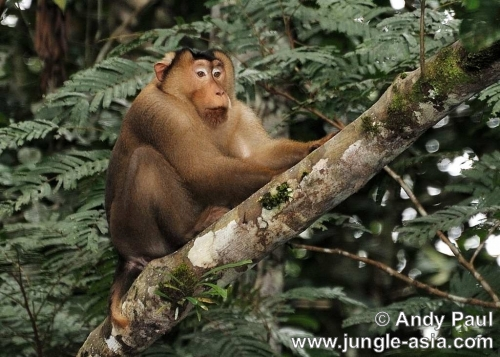 macaca nemestrina (male). A male Pig-Tailed Macaque. While Bornean...