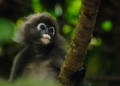 trachypithecus obscurus. The Dusky Leaf Monkey or Spectacled Lang...