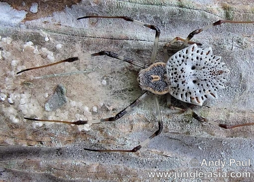 herennia ornatissima (female). A well camouflaged female Ornamental Tre...