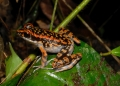 rana picturata. This Spotted Stream Frog is often confus...