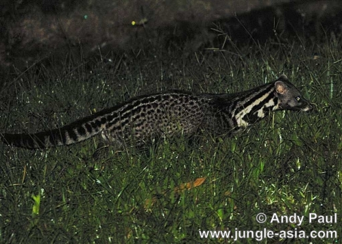 viverra tangalunga. A nocturnal and solitary mammal, the Mal...