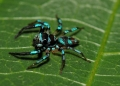 salticidae sp.. Jumping spiders or salticids are the lar...
