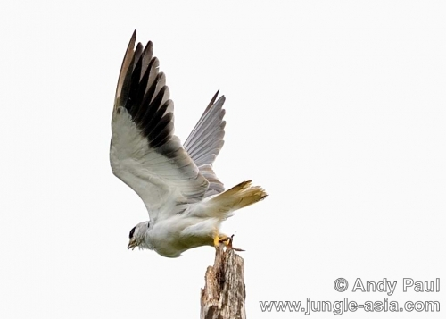 elanus caeruleus. Black-shouldered Kite.