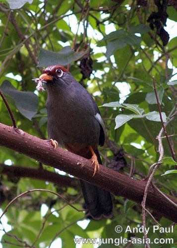 aarrulax mitratus. A Chestnut-capped Laughingthrush feeding...