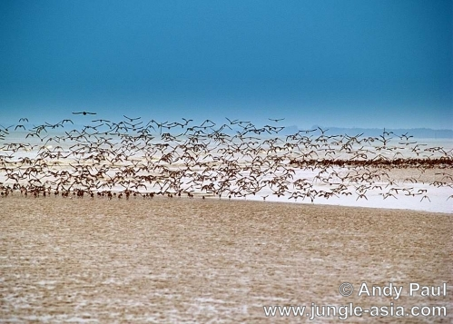 numenius phaeopus. Hundreds of migrating Whimbrel stalk the...