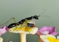 odontomantis planiceps (juvenile). An Asian Ant Mantis mimics ants at its n...