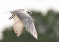 chlidonias hybrida. Whiskered Tern in mid-flight.