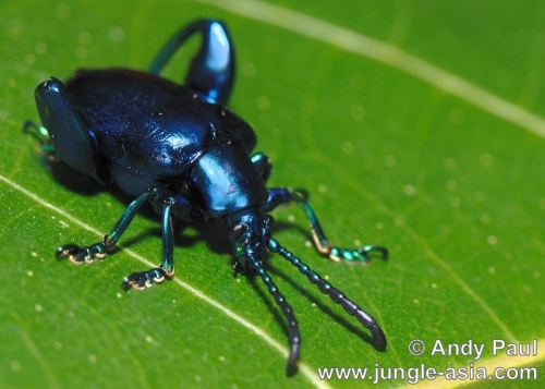 sagra femorata purpurea (female). The Frog-legged Leaf Beetle comes in man...