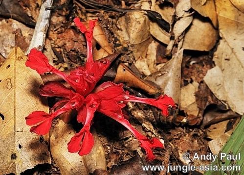 etlingera nasuta. There are over a thousand species of gin...