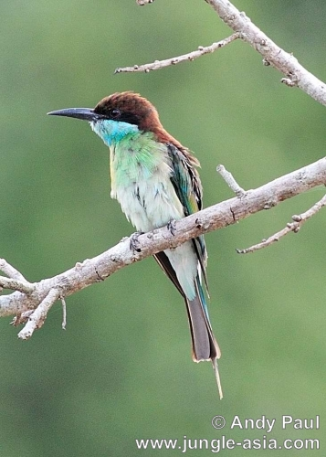 merops viridis. Blue-throated Bee-eater.