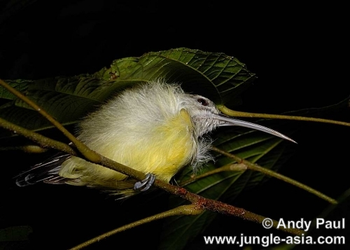 arachnothera longirostra. This Little Spiderhunter was photographe...