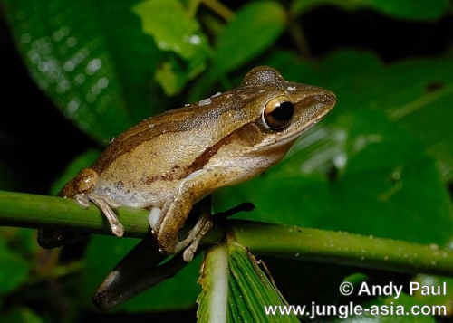 polypedates leucomystax. The Four-lined Tree Frog is probably the...