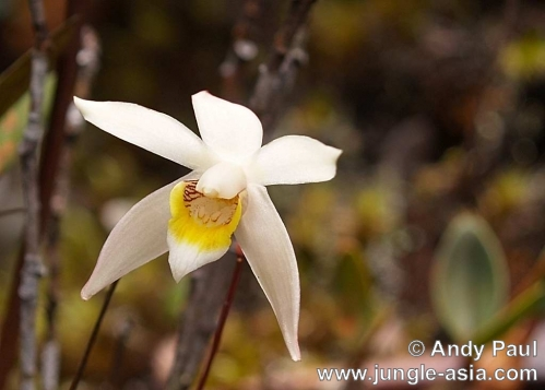 epigeneium longipes. Found in Malaysia and Sumatra, this wild...