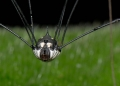 Although Harvestman spiders are classed ...