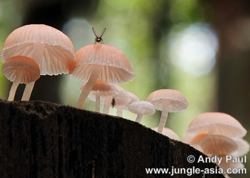 marasmiellus salmonicolor. A pinkish capped fungi which grows on de...