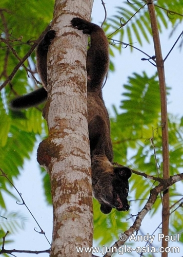 arctogalidia trivirgata. (updated). Small-toothed Palm Civets are...