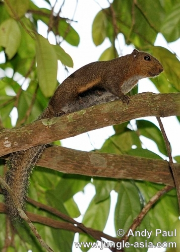 callosciurus nigrovittatus. The Black-banded or Black-striped squirr...