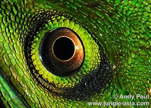 bronchocela cristatella . Close up of a Green Crested Lizard's eye...