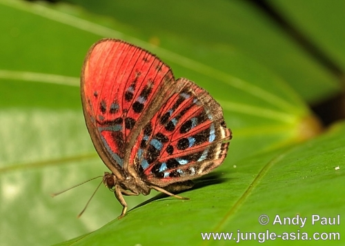 paralaxita damajanti . Brilliant colors and intricate markings ...