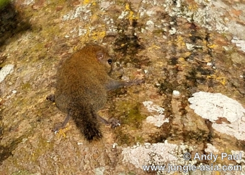 exilisciurus exilis. Endemic to Borneo, the Plain Pygmy Squir...