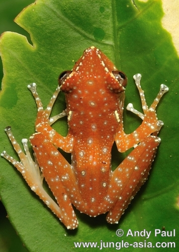 nyctixalus pictus. Cinnamon Tree Frogs are of the Rhacophor...