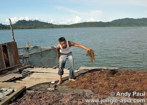 Ray, a young Bajau drying seaweed (euche...