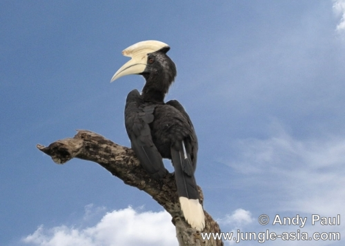 anthracoceros malayanus (male). The Asian Black Hornbill occurs in both ...