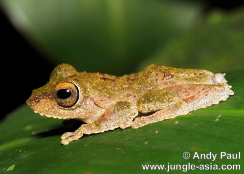 rhacophorus appendiculatus. A species found in moist lowland forests...