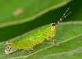 A small grasshopper measuring 1.5cm, pho...