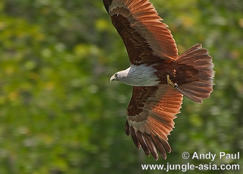 haliastur indus. A Brahminy Kite soaring on thermal updra...