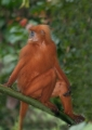 presbytis rubicunda. The Maroon or Red Leaf-monkey feed mainl...