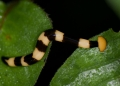 Land or terrestrial planarians require h...