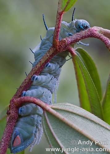 attacus atlas (caterpillar). Caterpillar of the Atlas Moth. After fee...