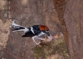 enicurus ruficapillus (male). A Chestnut-naped Forktail feeding nestli...