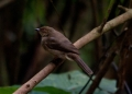 pycnonotus brunneus (sub-adult). A Red-eyed Bulbul drying itself after ba...