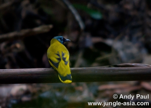 pycnonotus atriceps. The Black-headed Bulbul resembles the Bl...