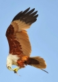 haliastur indus. A Brahminy Kite feeds on a fish in mid-f...