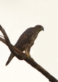 nisaetus cirrhatus (pale morph). Changeable Hawk-eagle. The Pale Morph fe...