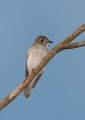 muscicapa dauurica. The Asian Brown Flycatcher is a small mi...