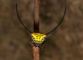 gasteracantha sp.. A beautiful spiny orb-weaver with long h...