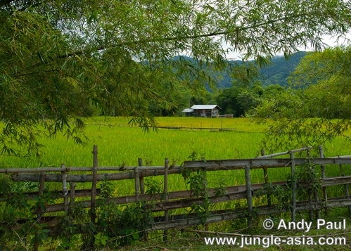 Pa'Merung paddy fields. The changing of ...