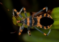 An Assassin Bug probably of the genus  T...