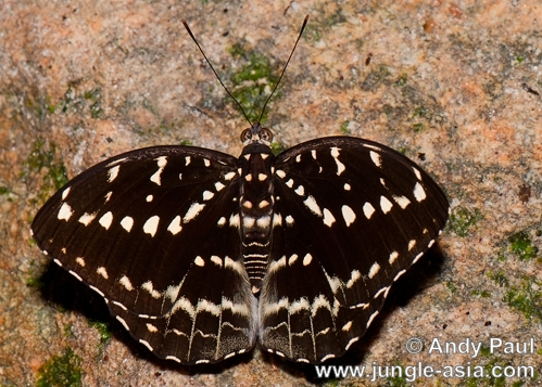 lexias pardalis dirteana. Although the Archduke butterfly seems pr...